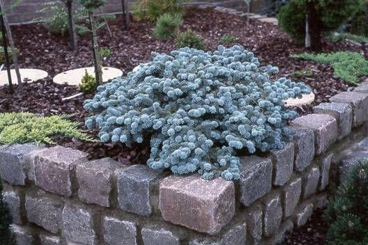 Abies Procera Blaue Hexe Co Hillis Planteskole